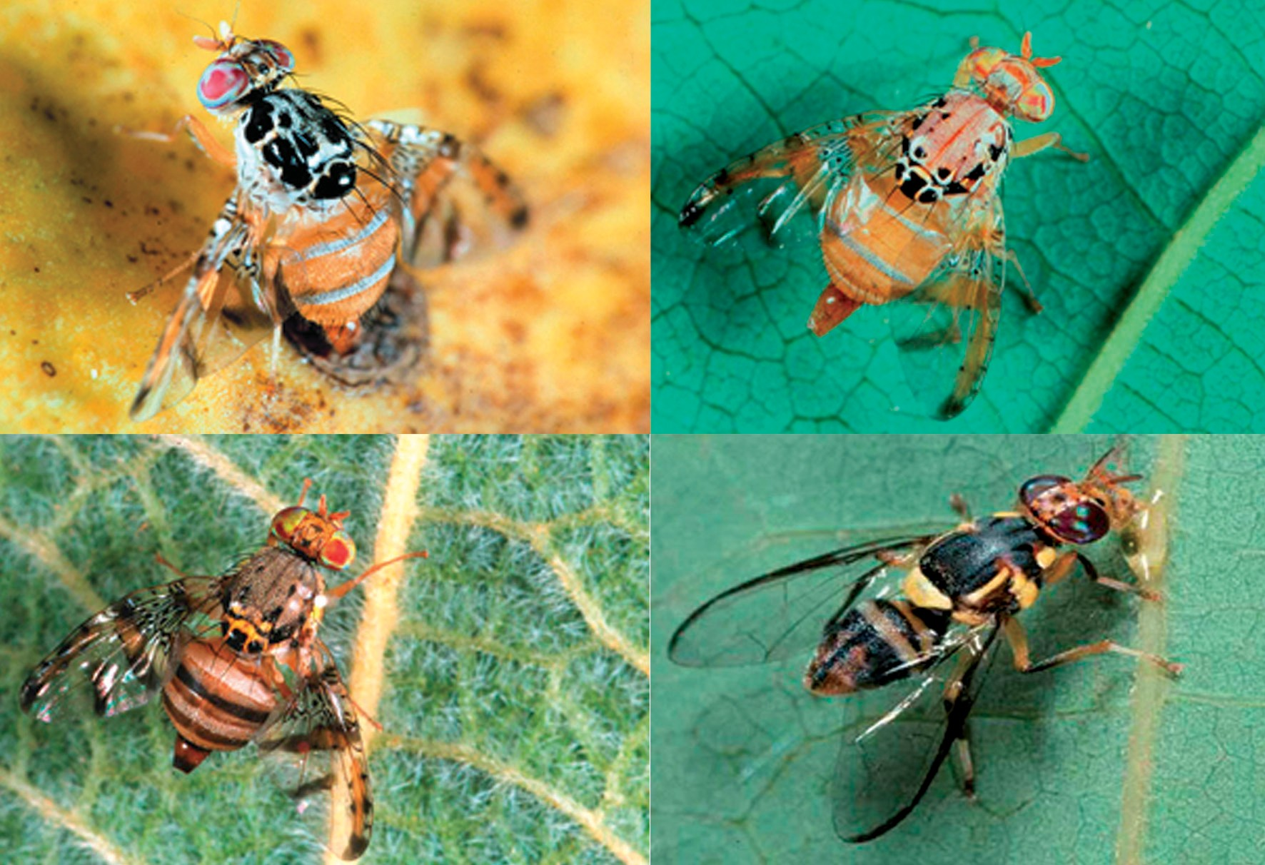 Image 1: Major fruit fly pests in Tanzania (clockwise from top left) B. dorsalis, C. rosa, C. cosyra and C. captata