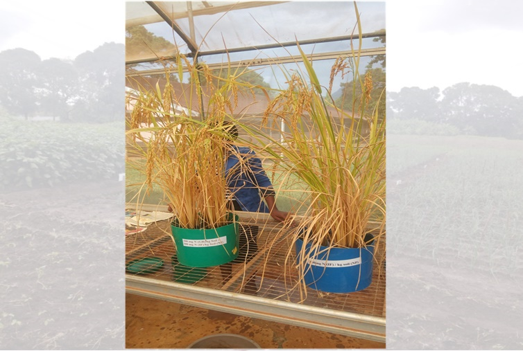 Rice at maturity in pot experiment on the left applied biowaste & urea and on the right is urea alone