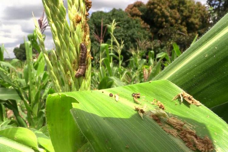 Fall armyworms:Farmers nightmare