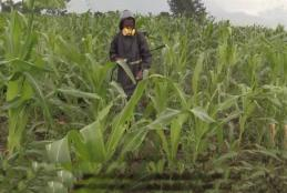 Maize Crops Attacked by fallworms