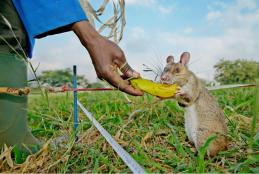 The rats get food rewards as they learn to detect land mines or TB in the lab
